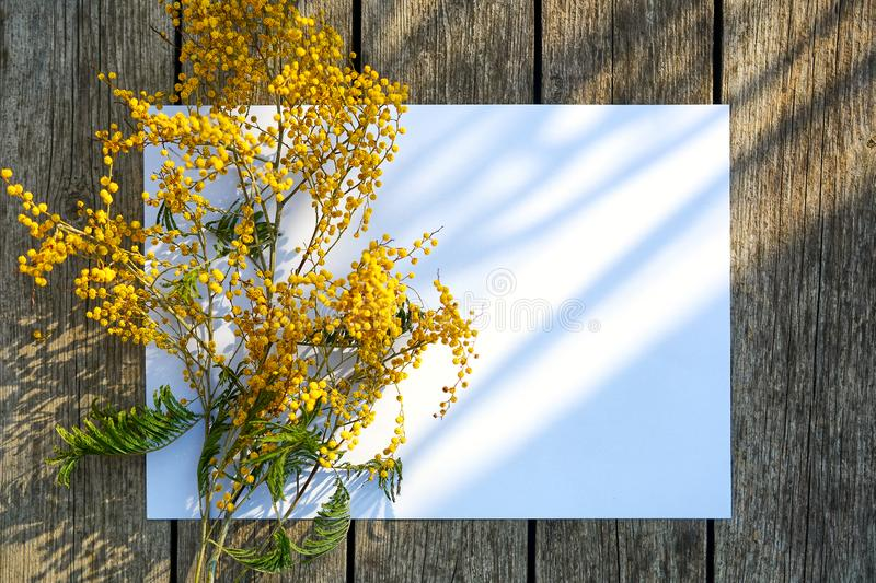 Branch of yellow mimosa against the background of white sheet and planks of aged tree. Spring Flower royalty free stock image