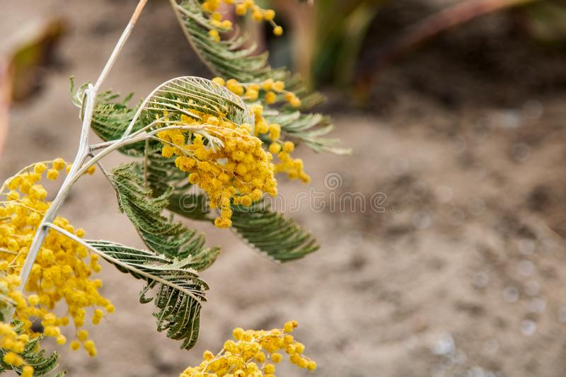 Branch of yellow mimosa close up, copy space royalty free stock image