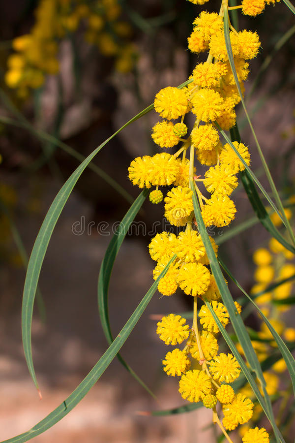 Branch of yellow mimosa stock photos