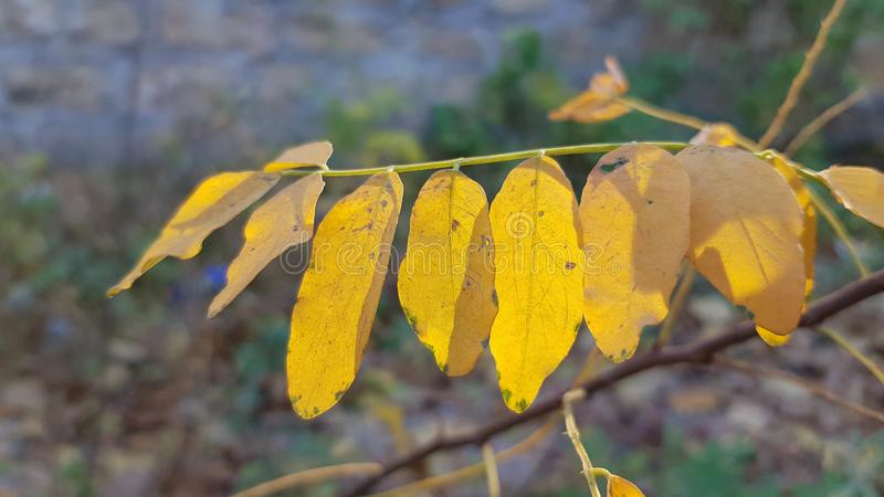 Branch of yellow and orange fall acacia leaves closeup on green grey background royalty free stock photography