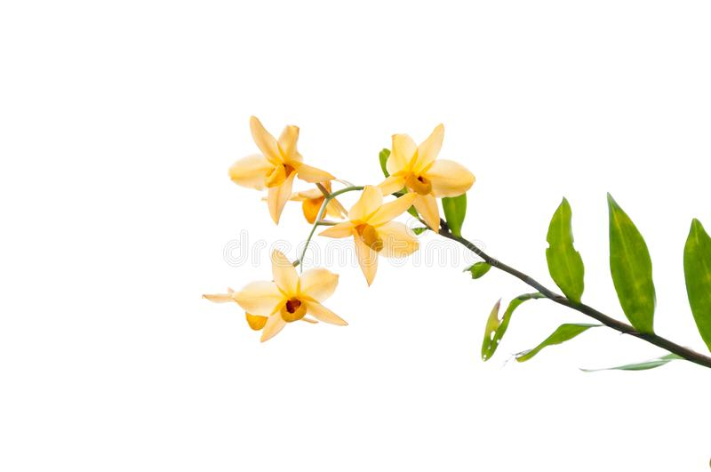 Branch of yellow orchids isolated on white stock photography