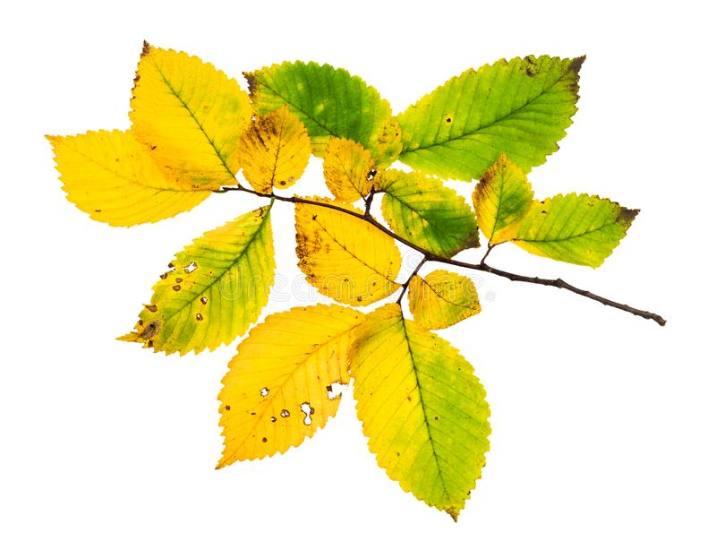 Branch with yellowing leaves of elm tree in autumn royalty free stock photos