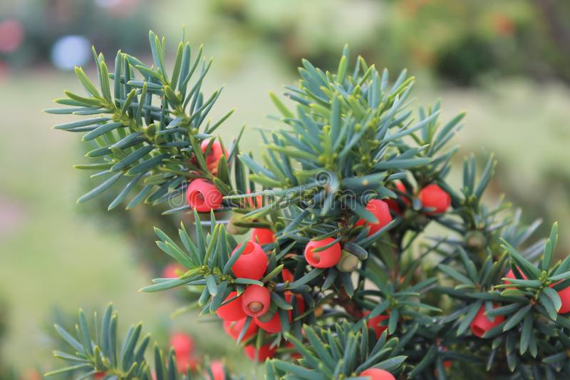 A branch of yew with red berries sways in the wind.. A branch of yews on an isolated background royalty free stock image
