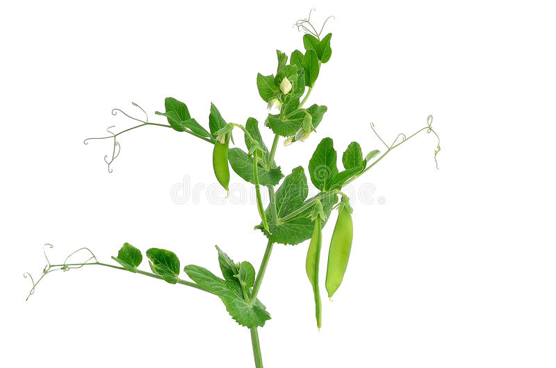Download Branch of young green peas stock photo. Image of healthy - 26535018