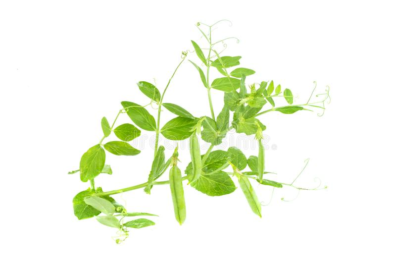 Branch of young green sugar snap peas, fresh sweet green pea pod, isolated on a white background. Branch of young green sugar snap peas, fresh sweet green pea stock photography