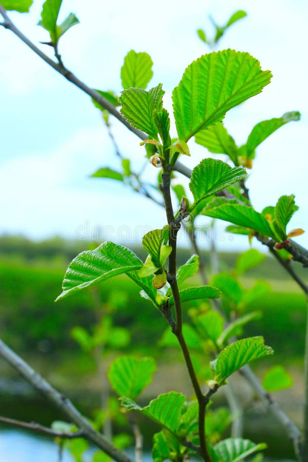 Branch of alder in the spring. Branch of young leaves of alder in the spring royalty free stock photography