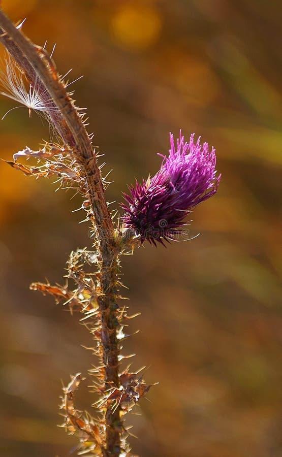 Branche épineuse de chardon avec la fleur image stock