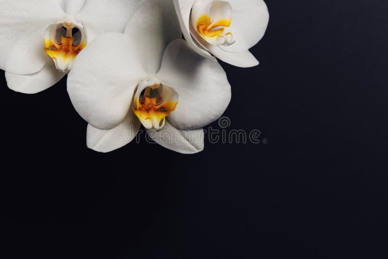 Branche avec de belles fleurs d'orchidée sur le fond noir images libres de droits
