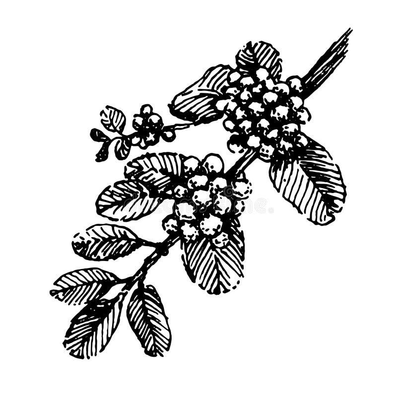 Branche avec le vecteur de croquis d'illustration d'aspiration de main d'usine de grains de café illustration libre de droits