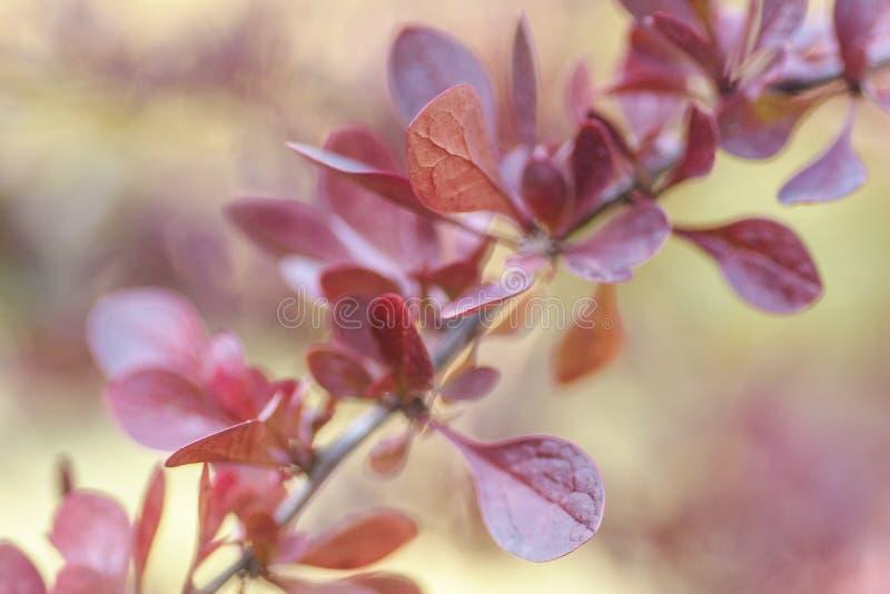 Branche avec les feuilles rouges sur un fond brouillé Feuilles colorées sur le buisson de berbéris Autumn Pattern photo libre de droits