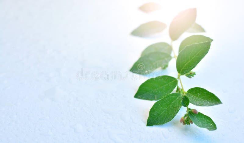 Branche avec les feuilles vertes se trouvant sur la table humide Lumière du soleil de matin traversant le feuillage Backgro vert, images libres de droits