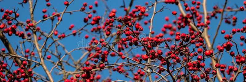 Branche avec les fruits rouges d'aubépine Bannière pour la conception photo libre de droits