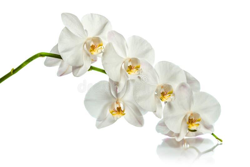 Branche blanche d'orchidée avec la réflexion sur le fond blanc photos stock