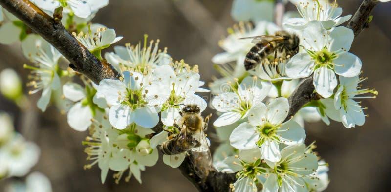 Branche blanche de fleur d'un arbre de ressort avec abeilles à la pollination photographie stock