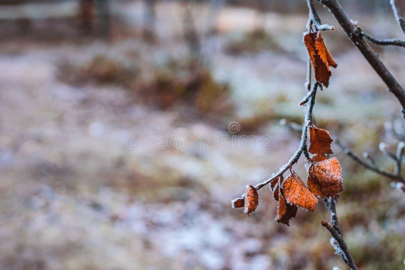 Branche com as folhas alaranjadas pálidas secas na queda atrasada da geada foto de stock royalty free