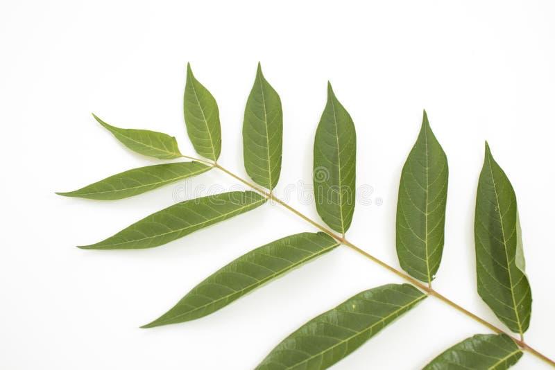 Branche complètement des feuilles détaillées de vert d'isolement dans un backgro blanc image libre de droits