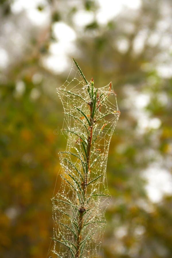 Branche con la ragnatela fotografia stock