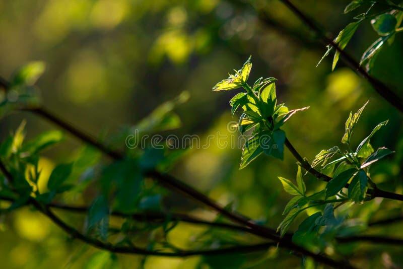 Branche d'érable avec de jeunes feuilles photos libres de droits