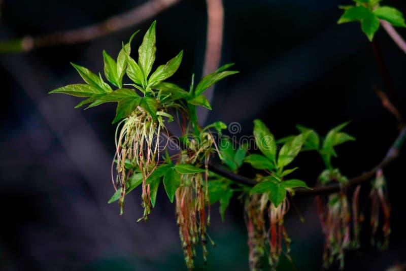 Branche d'érable avec de jeunes feuilles photo libre de droits