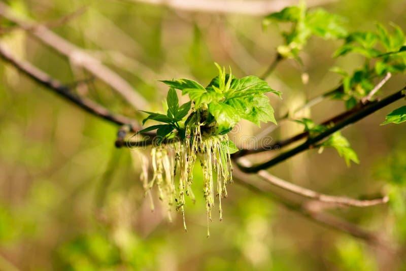 Branche d'érable avec de jeunes feuilles photos stock