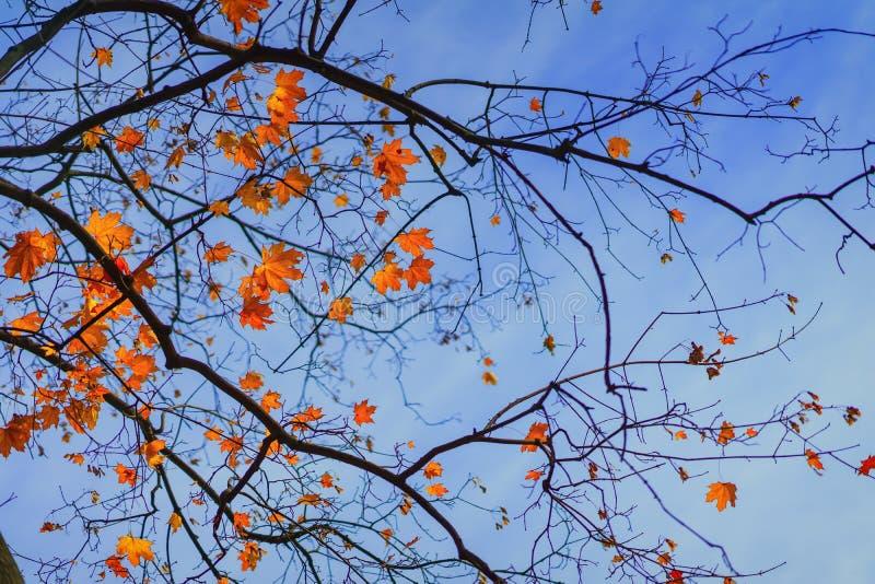 Branche d'érable avec des feuilles en automne en ciel bleu Humeur romantique, concept de nostalgie Fond lumineux d'automne nature photo stock