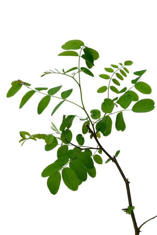 Branche d'acacia photo stock