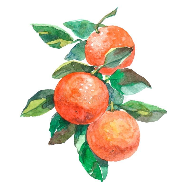 Branche d'aquarelle avec des fruits d'oranges d'isolement illustration de vecteur
