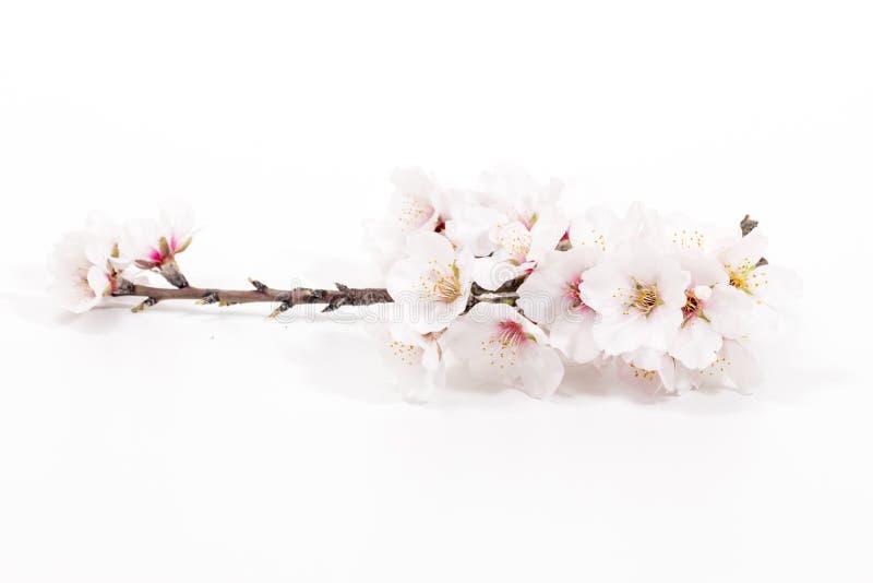 Branche d'arbre d'amande photo libre de droits