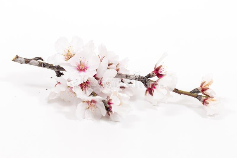 Branche d'arbre d'amande photo stock