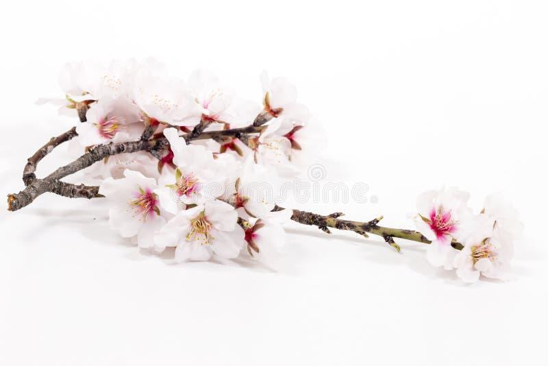 Branche d'arbre d'amande image libre de droits
