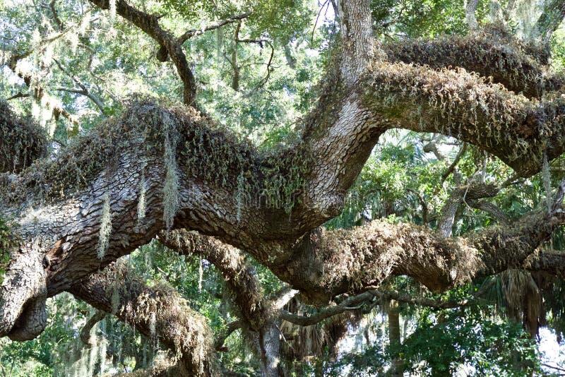 Branche d'arbre avec de la mousse accrochant de elle photos libres de droits
