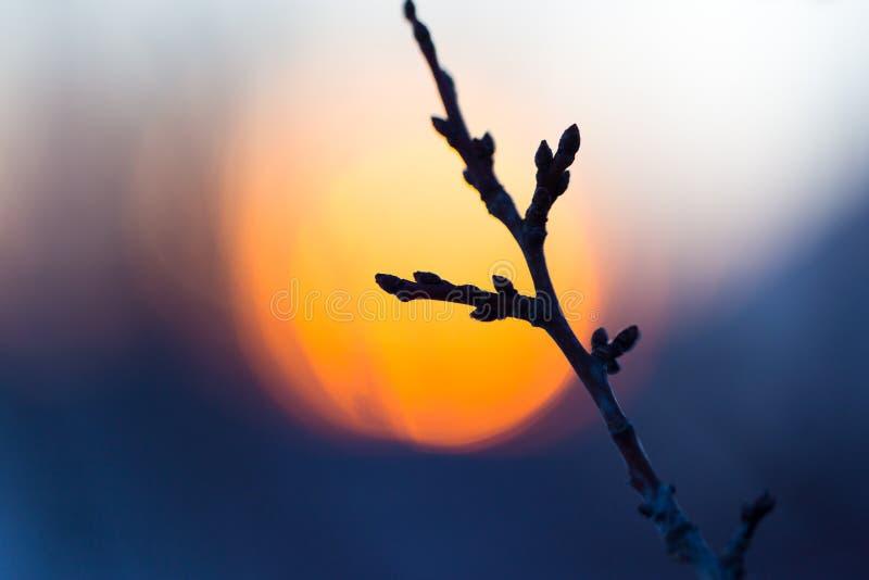 Branche d'arbre avec des bourgeons sur le fond de coucher du soleil photo libre de droits