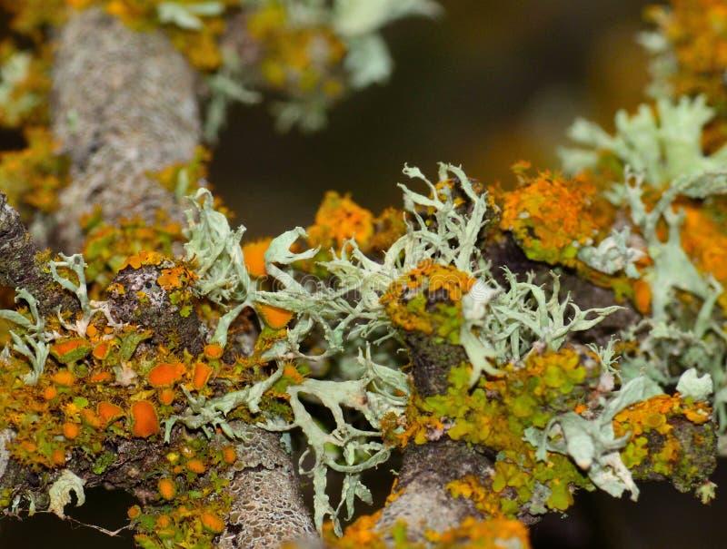 Branche d'arbre avec des lichens de couleurs photos libres de droits