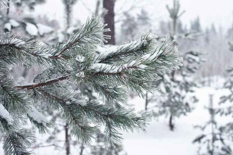 branche d'arbre couverte de neige au parc, froid tonned Conceprt d'hiver photos stock