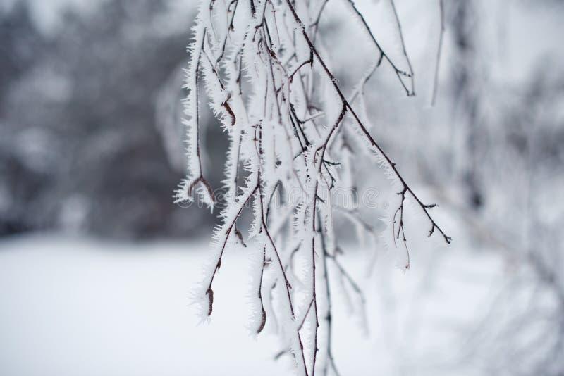 branche d'arbre couverte de neige avec le gel au parc, froid tonned photo libre de droits