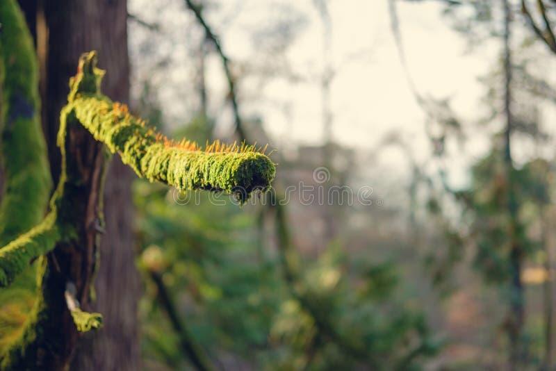 Branche d'arbre couverte par des moos images stock