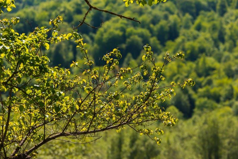 Branche d'arbre d'aulne photos libres de droits