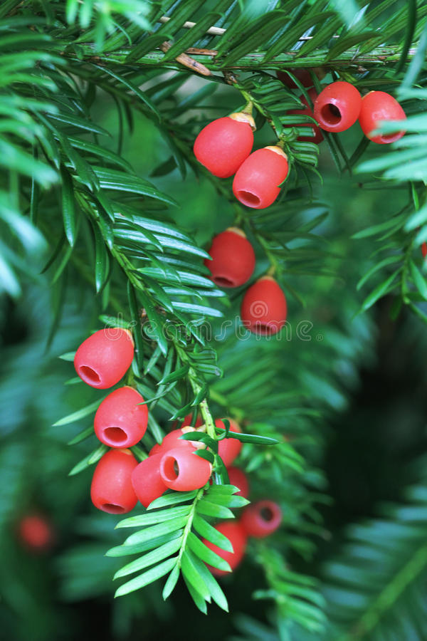 Branche d'arbre d'if avec les baies toxiques photo stock