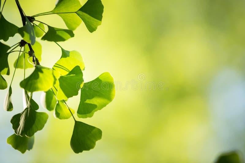 Branche d'arbre de biloba de Ginkgo avec des feuilles image libre de droits