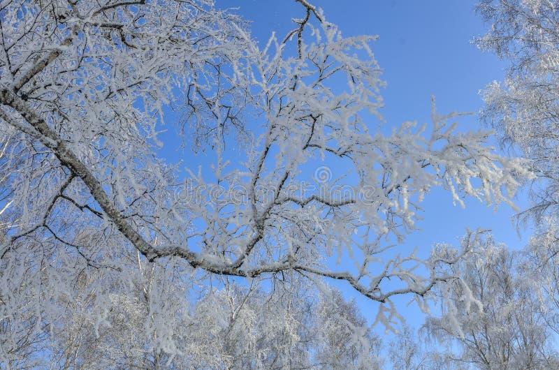 Branche d'arbre de bouleau avec la gelée sur le ciel bleu d'hiver photo stock