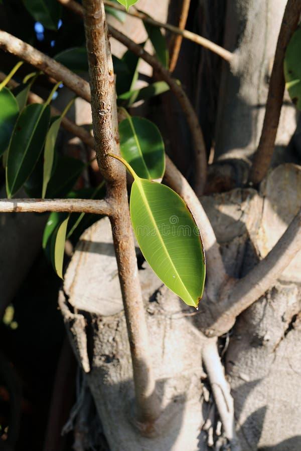 Branche d'arbre de Brown avec les feuilles vertes dans un plan rapproché image stock