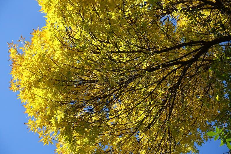 Branche d'arbre de cendre avec les feuilles jaunes contre le ciel bleu image libre de droits