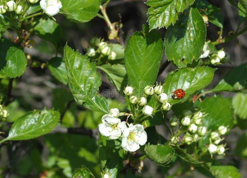 Branche d'arbre de floraison avec la coccinelle images stock