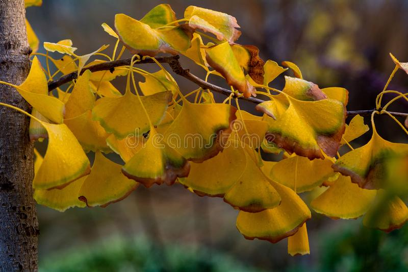 Branche d'arbre de Ginkgo en automne image stock