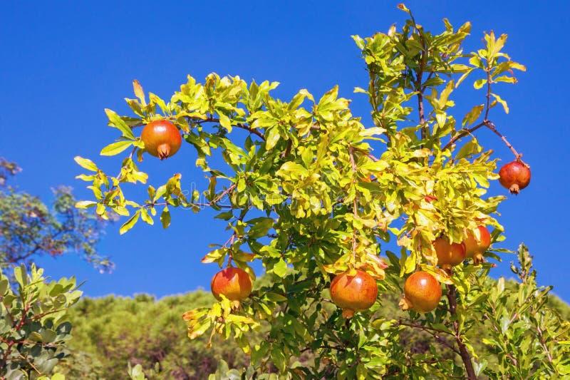 Branche d'arbre de grenade avec des feuilles et des fruits mûrs contre le ciel bleu le jour ensoleillé d'automne images stock