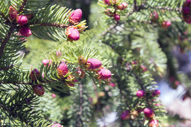 Branche d'arbre de Noël avec des aiguilles et de petits cônes pendant l'été photographie stock