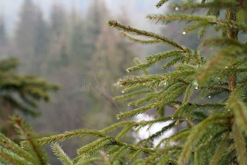 Branche d'arbre de sapin avec des baisses de rosée photos stock