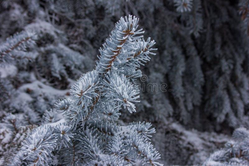 Branche d'arbre de sapin couverte de fin de neige photographie stock