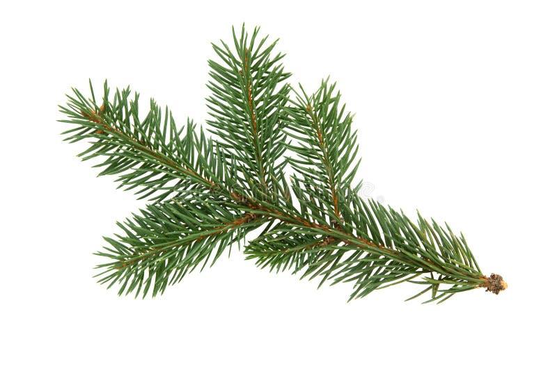 Branche d'arbre de sapin d'isolement sur le fond blanc pin Noël f photo libre de droits