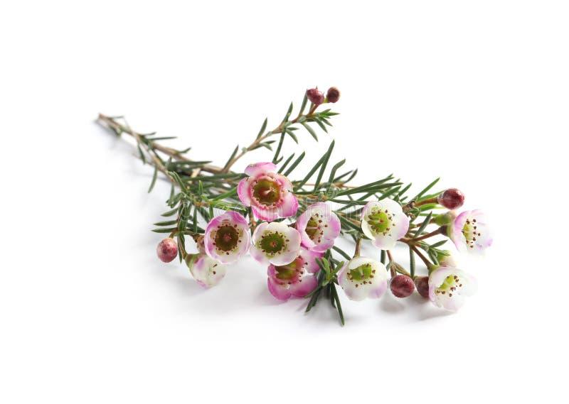 Branche d'arbre de thé avec des fleurs sur le blanc Huile essentielle naturelle photo libre de droits